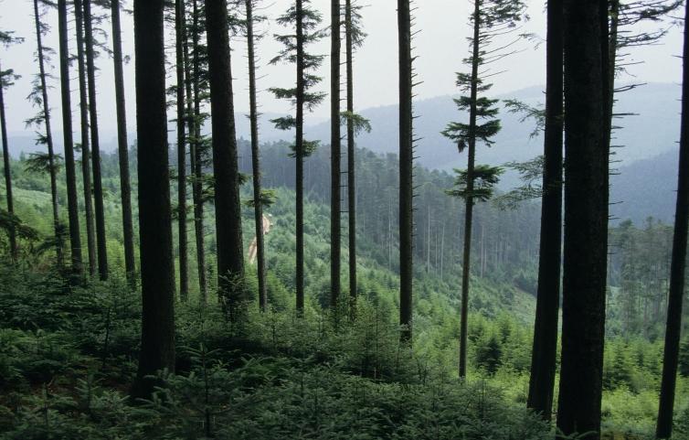 Sapinière des Vosges. Crédits : C. Pocachard_ONF
